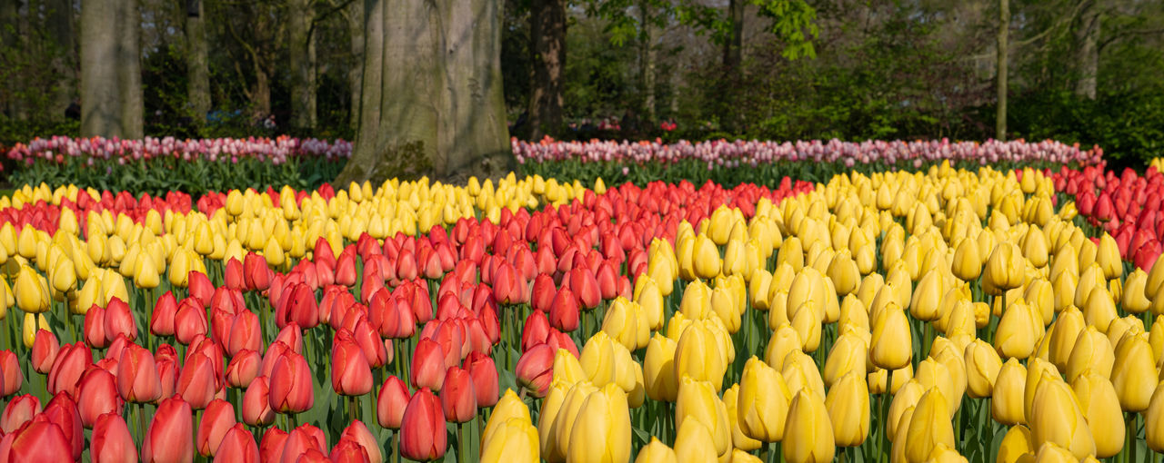 Close-up of multi colored tulips in park