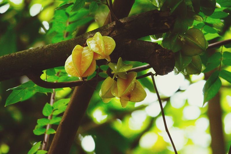 Details Colorsplash Outdoor Photography Details Real Life Hello World Hello Seychelles Taking Pictures Click Click 📷📷📷 Africa Seychelles Colorsplash Paradise Starfruit Tree Starfruits Plant Growth Tree Close-up Plant Part Leaf Beauty In Nature Nature Day Focus On Foreground Fruit Freshness Healthy Eating Outdoors Green Color