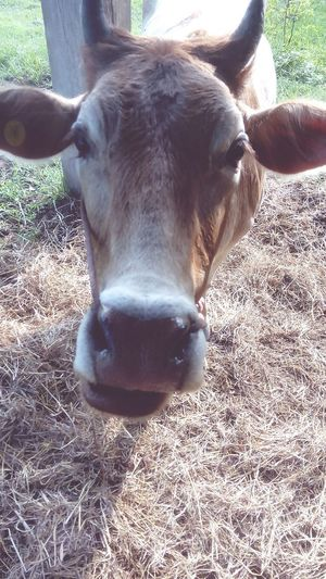 Mammal Domestic Animals Animal Body Part Animal Themes Livestock One Animal Animal Head  Cattle Cow Looking At Camera Day Portrait No People Agriculture Close-up Nature Outdoors Oil Pump หน้าวัว วัวใครวะ วัวไม่ขยับ วัว