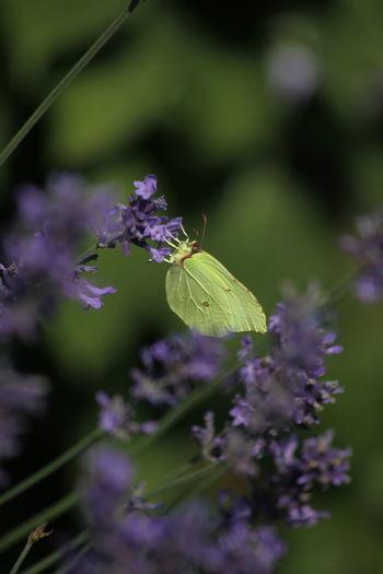 Der Zitronenfalter beim Abendmahl Schmetterling Sommer Sonne Full Length Lavender