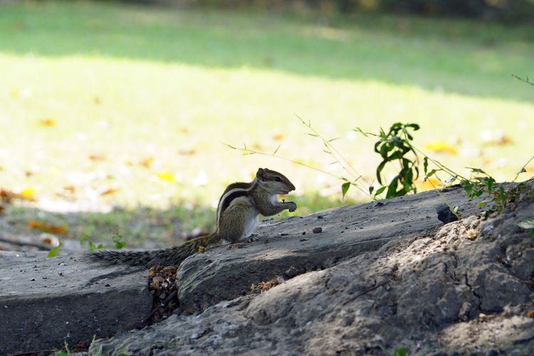 Squirrel hold a nut Squirrel At Stone Squirrel Holding Nut Squirrel Closeup Looking Away Selective Focus Mammal Outdoors Focus On Foreground Rodent Rock - Object Solid Day Rock Plant No People Nature Bird Vertebrate One Animal Animal Animals In The Wild Animal Themes Animal Wildlife