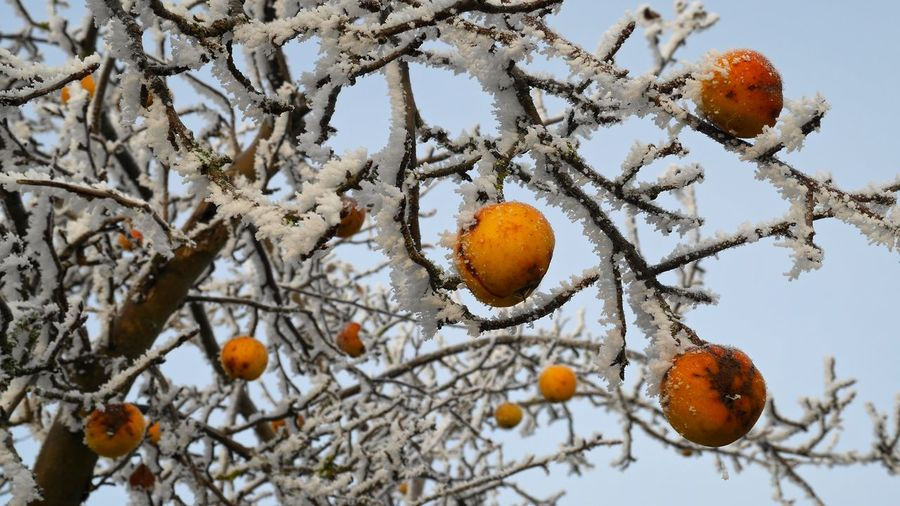 Apfel Apfelbaum  Appel Appels Apple Baum Close-up Cold Cold Days Cold Temperature Cold Weather Cold Winter ❄⛄ Day Growth Nature No People Obstbaum Outdoors Rauhreif Winter Winter Tree Winter Trees