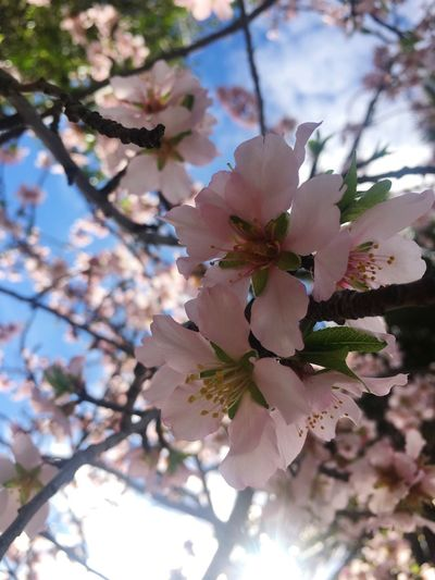Cherry Flowers Cherry Flower Pink Flower 🌸 No People Cherry Blossoms Nature Photography Pink Flower Pink Color Pink Cherry Blossom Tree Cherry Blossom Viewing Nature Outdoors Sky Light Pink Millennial Pink Sommergefühle Perspectives On Nature