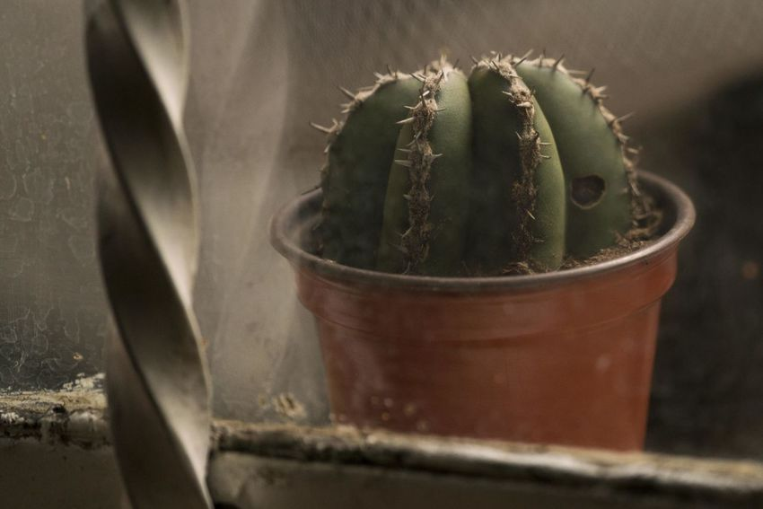 Close up of a small cactus inside a plastic pot Cactus Close-up Container Day Flower Pot Food And Drink Green Color Growth Indoors  Leaf Nature No People Plant Plant Part Potted Plant Selective Focus Still Life Succulent Plant Thorn