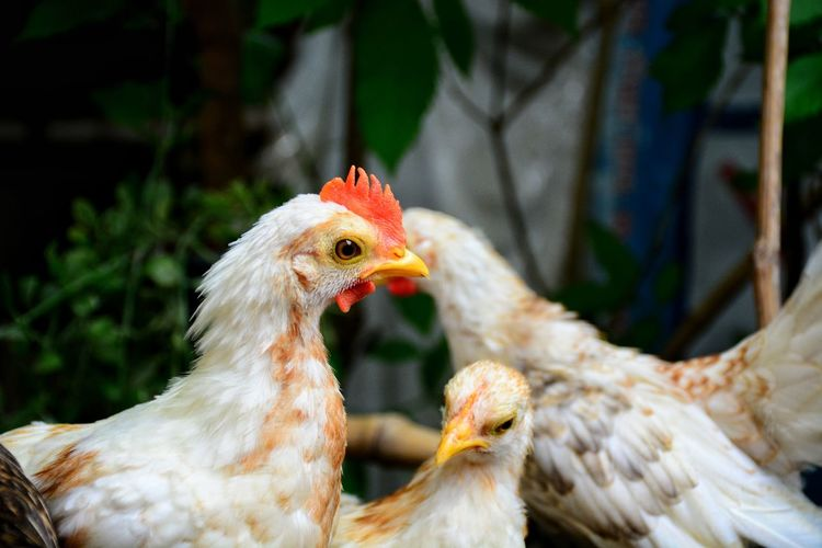 Dwarf chicken in the farm Chicken White Chicken Dwarf Chicken Beautiful Chicken Hen Animal Pets Farm