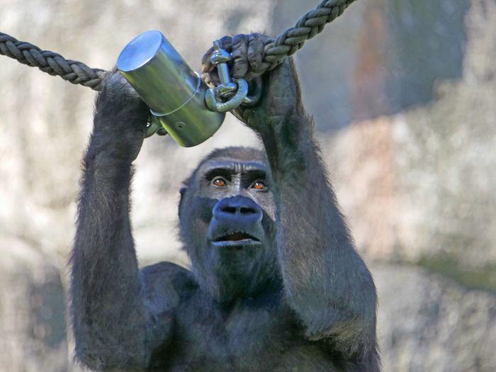 Close-up of monkey holding rope