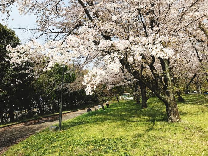 Plant Tree Flower Growth Springtime Beauty In Nature Blossom
