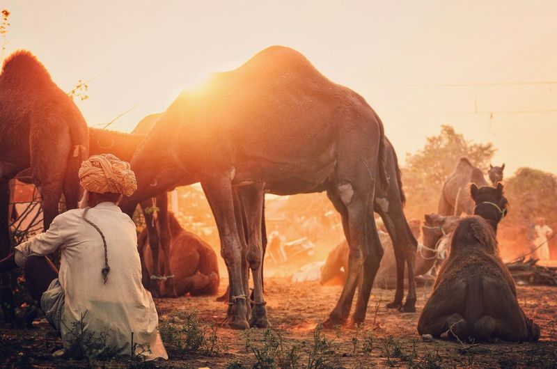 Rear View Of Man Sitting On Field By Camels Against Sky During Sunset