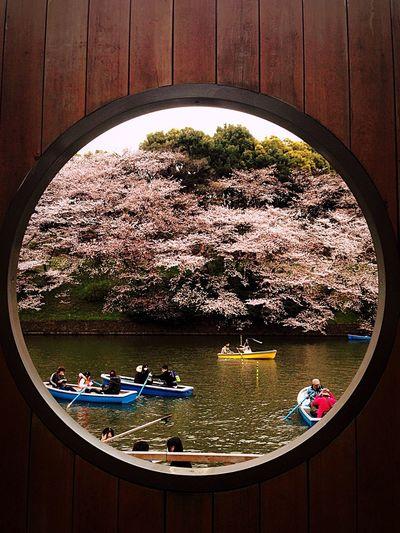 千鳥ヶ淵 Cherry Blossoms 花見 Sakura2016