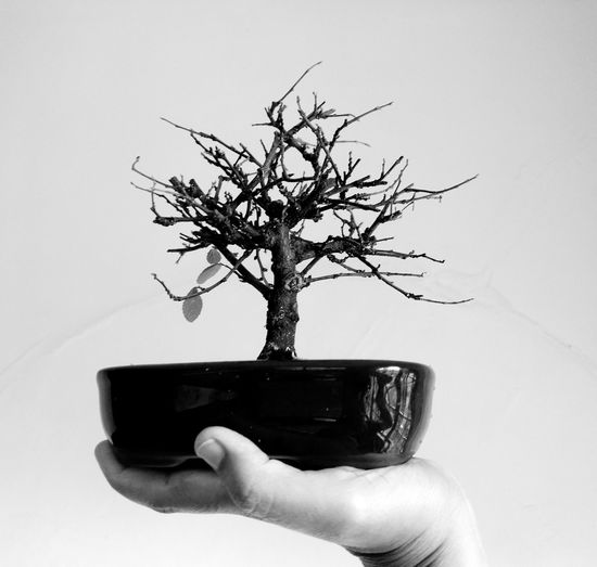 Bonsai de Lótus Eyeem Market Bonsai Bonsai Mini  Mini Plants Green Teraphy Cultivando Mini árvores Japanese Style Bonsai Collection Lottus Teraphy Flôr De Lótus Blackandwhite Photography Human Hand Tree Holding Close-up Bonsai Tree Plant Life Petal Single Tree Growing Bare Tree