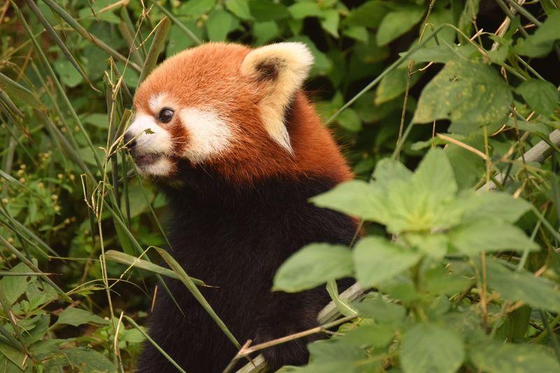 Red Panda Nature Animals In The Wild Outdoors No People Red Panda Close-up Animal Themes 12daysofeyeem Mammal