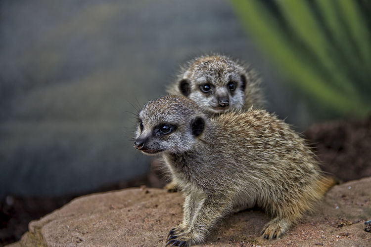 baby meerkats Animal Animal Themes Animal Wildlife Baby Animals Care Close-up Cute Animals Mammal Meerkat Meerkat Pup Meerkat, Cute Animals, Furry, Animal Close Up, Yellow, Zoo, Zoo Pics, Meerkat Pics Meerkats Nature No People