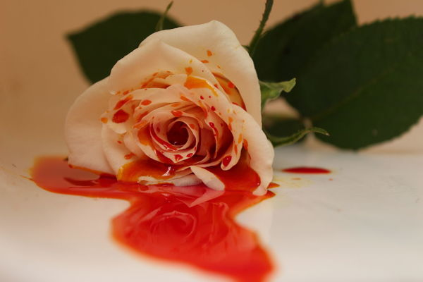 Blood Botany Close-up Flower Head Leave Mysterious Red Rose Bud Rose Petals Single Flower