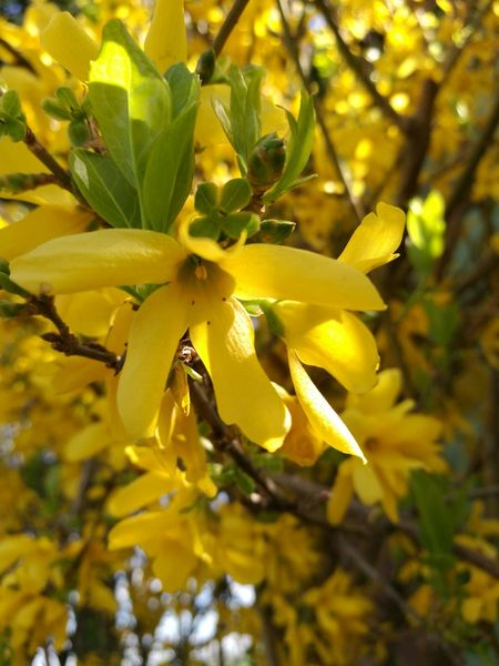 Yellow Close-up Nature Flower Growth No People Plant Beauty In Nature Fragility Outdoors Freshness Blossom Day Branch Tree Flower Head No Filter, No Edit, Just Photography Garden Photography Springtime Tree Softness Huawei P9 Photos HuaweiP9Photography Freshness Leaf