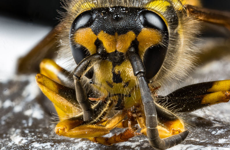 Animal Themes Animal Wildlife Animals In The Wild Beauty In Nature Black Close-up Focus On Foreground Insect Nature No People One Animal Outdoors Stone Wasp Yellow