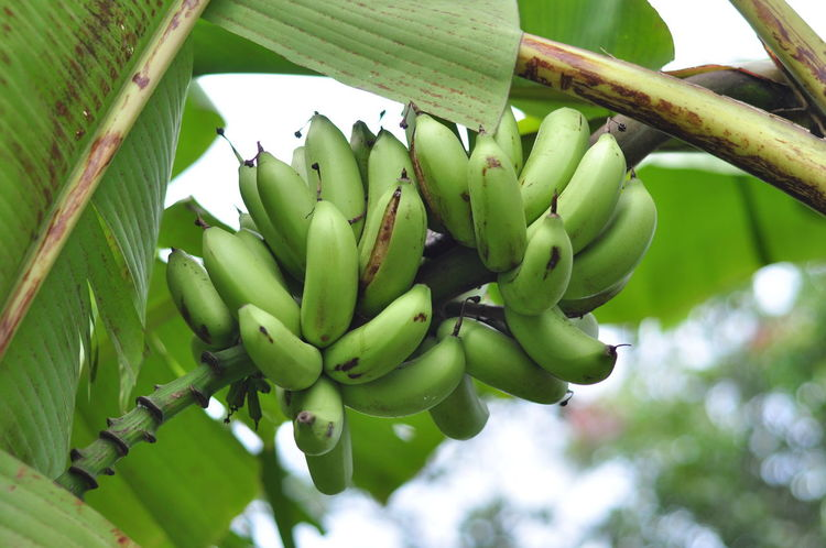 Green Banana Growth Green Color Nature Plant No People Outdoors Beauty In Nature Agriculture Day Close-up Food Freshness Tree Banana Banana Tree Banana Fruit Raw Food