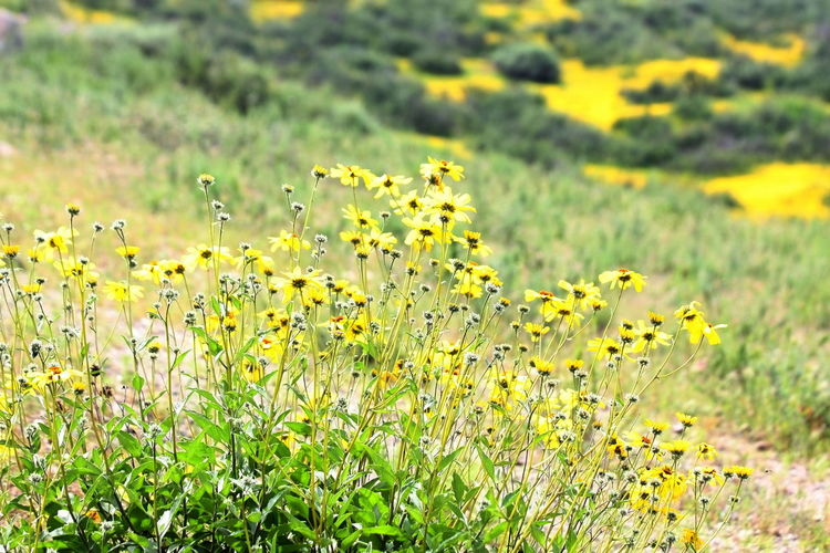 Plant Yellow Flower Growth Flowering Plant Beauty In Nature Field Freshness Fragility Land Vulnerability  Nature Green Color Day Selective Focus Focus On Foreground No People Flower Head Outdoors Petal Flowerbed