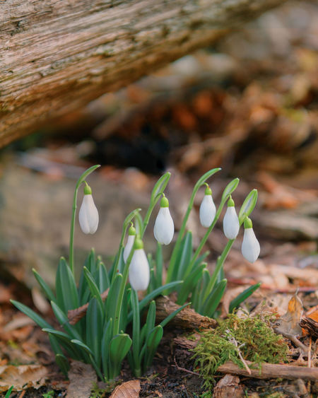 Snowdrop Nature Close-up Plant Outdoors Beauty In Nature Growth Flower Day No People Fragility Fungus Freshness Crocus Flower Head
