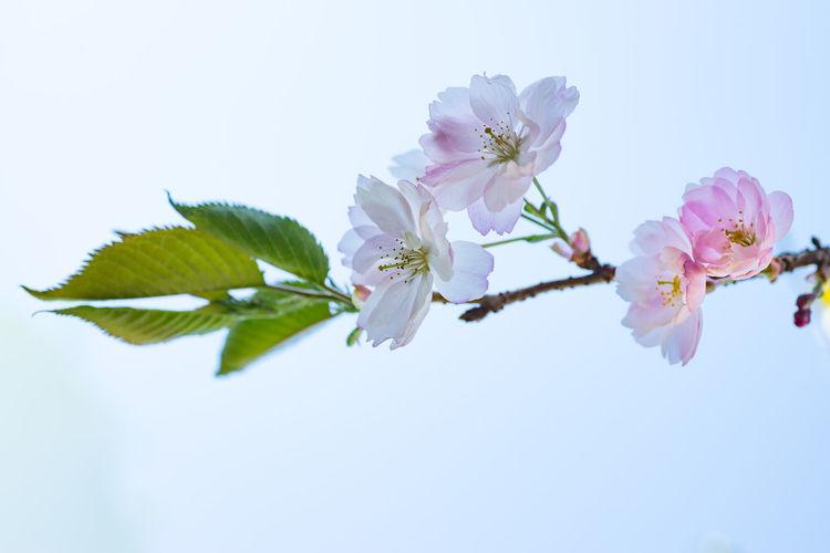 Cherry blossom Blossom Bookeh Cherry Cherry Blossom Cherry Flower Closeup Flower Pink