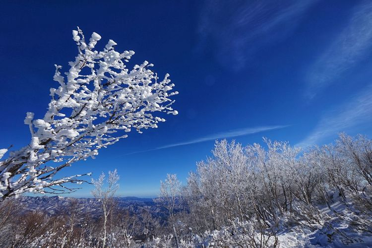 Cherry blossom tree against sky during winter