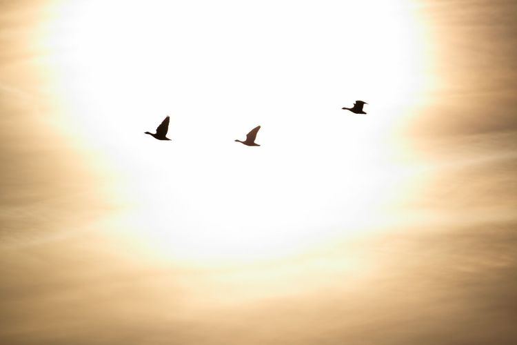 Flying Bird Mid-air Silhouette Low Angle View Transportation Sun Outdoors Sky Animals In The Wild Sunset Beauty In Nature Nature No People Day Spread Wings Animal Themes