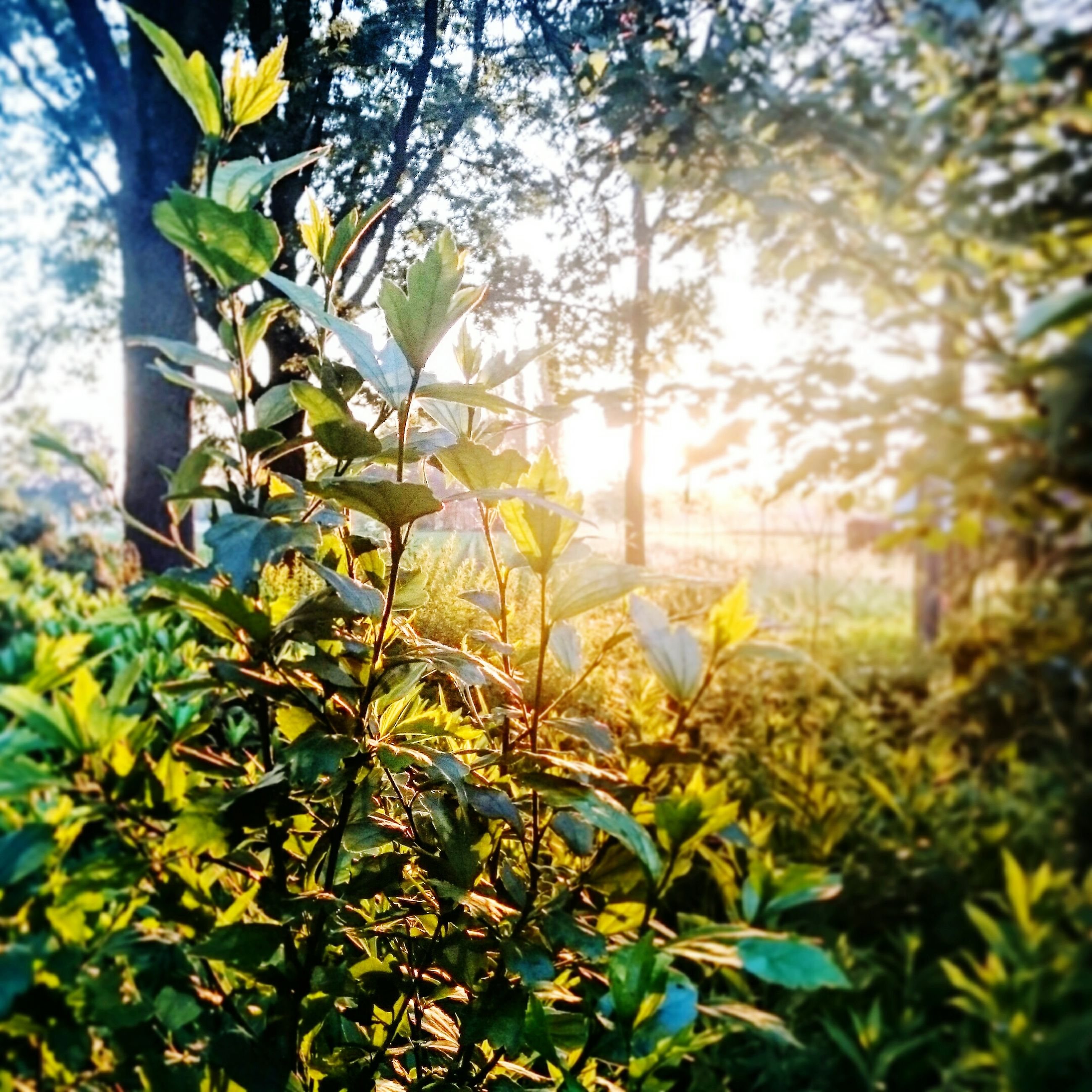 growth, sun, sunlight, tree, sunbeam, nature, leaf, beauty in nature, tranquility, plant, branch, green color, lens flare, tranquil scene, sky, scenics, field, sunny, focus on foreground, no people