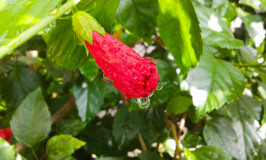 Droplets On Flower Drops From My Point Of View Nature On Your Doorstep Hibiscus 🌺 Flower Buds Droplets, Water Droplets, Flowers  Hibiscus Droplets Raindrops Nature Photography