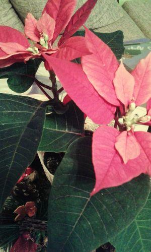 🌷 Flowers 🌹 Christmas