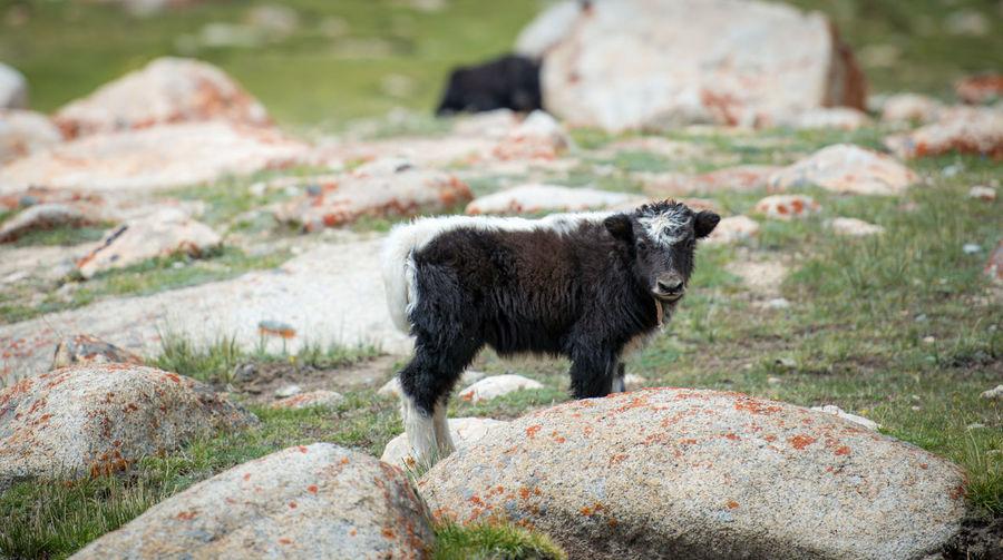 Portrait of calf