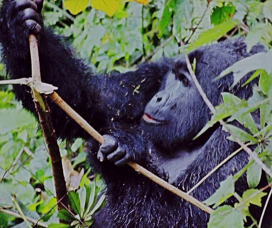 The 2 hour torturous climb deep into the rainforest was instantly forgotten the moment I first laid eyes on this magnificent site!!! Uganda  Africa Rainforest Mountain Gorillas Silverback Silverback Gorilla Amazing Magnificent Breathtaking Powerful Image
