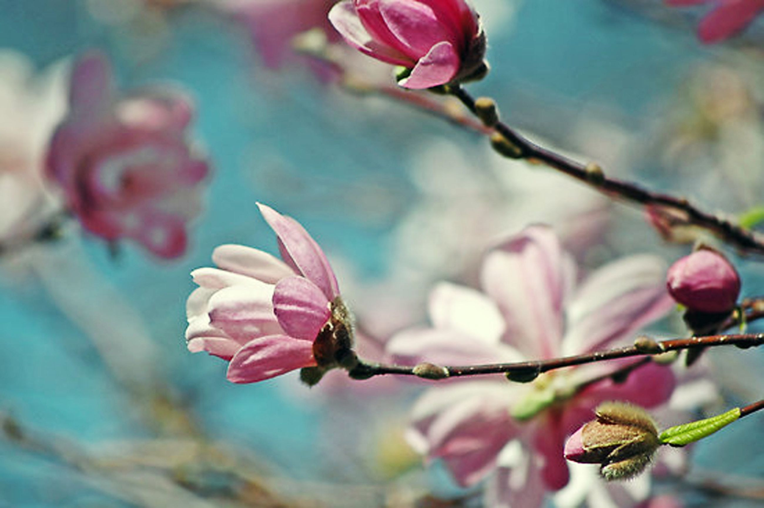 flower, freshness, fragility, growth, focus on foreground, branch, petal, bud, close-up, beauty in nature, twig, pink color, nature, stem, flower head, plant, blossom, blooming, in bloom, springtime