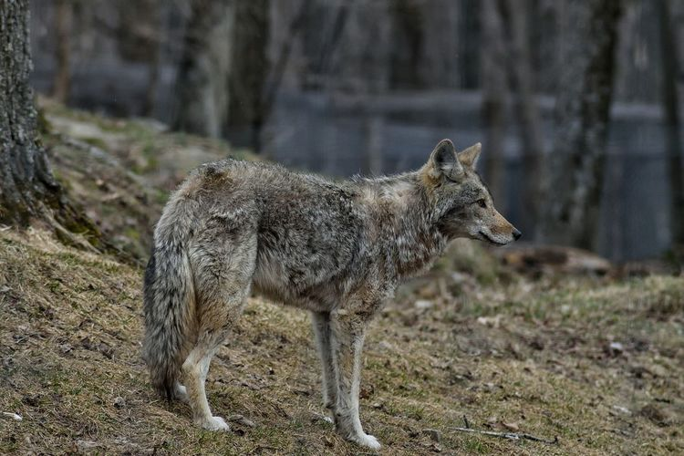 Coyote Animal