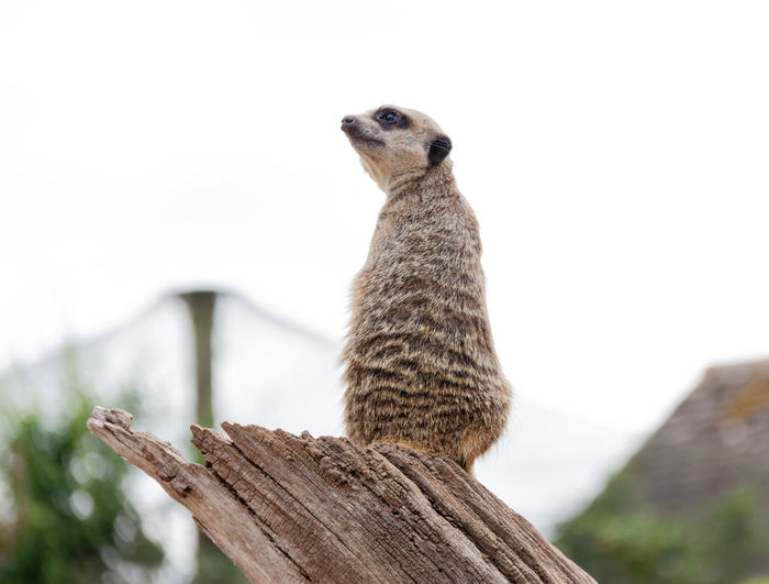 Animal One Animal Meerkat Mammal Looking Day Outdoors No People Focus On Foreground