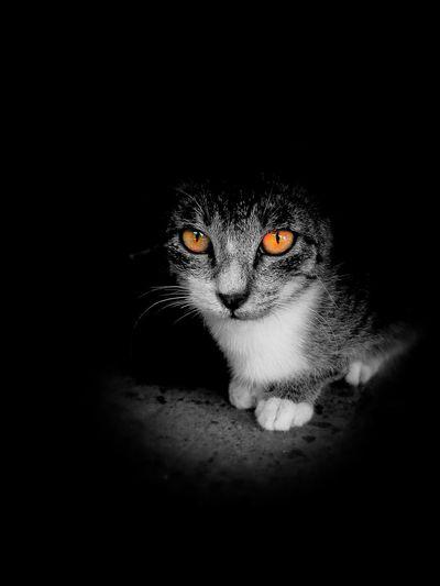 Color splash Colorsplash Cat Cats Furry Predator Predatoryeyes