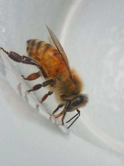A photo i thought id lost forever😍 and definately my most favorite photo of any that ive taken of my bees! I had been outside, enjoying a cup of coffee and this little beauty decided to join me, feasting on the sugary leftovers on the inside of the cup. An audience for one. A magic moment😍 And im so happy i captured it and am able (finally) to share it with everyone😍 The Tourist 😂😂 Honey Bee White Background Cup Sugar Close Up Macro Beeautiful Engage Your Senses A Moment Of Zen... Nzbees One Insect Insect Wings Colour Image Wanderlust Macro Beauty Bee Side View Soul Nourishment Reflection Striped Thirsty  Busybee Outdoor Photography The Great Outdoors - 2016 EyeEm Awards
