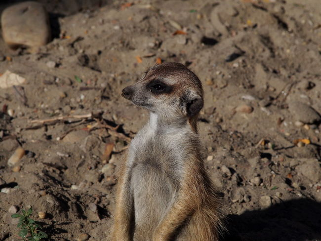 Zoo Animal Animal Themes Animal Wildlife Animals In The Wild Day Field Land Looking Looking Away Mammal Meerkat Nature No People One Animal Outdoors Rock Rock - Object Solid Standing Vertebrate Zoobudapest