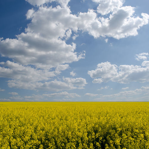 Abundance Agriculture Beauty In Nature Cloud - Sky Crop  Cultivated Cultivated Land Day Farm Field Flower Growth Horizon Over Land Landscape Mustard Plant Nature No People Oilseed Rape Plant Rural Scene Scenics Sky Tranquil Scene Tranquility Yellow