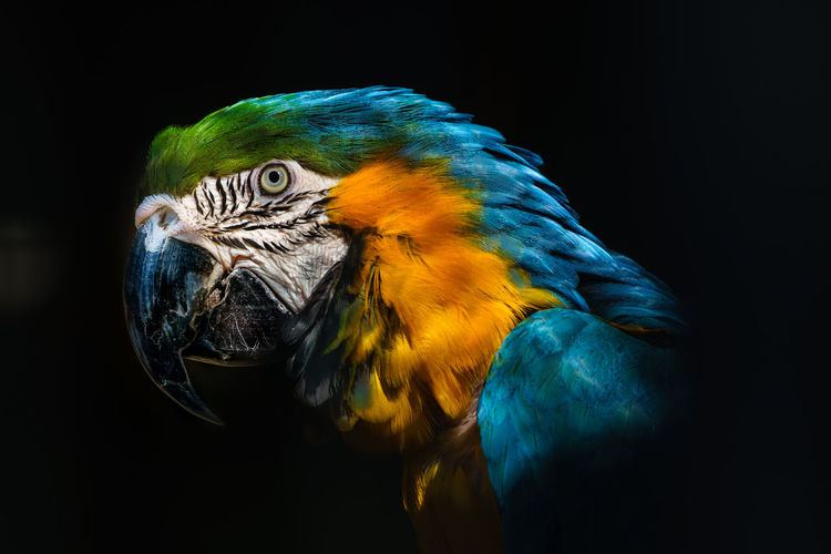 Close-up of gold and blue macaw against black background