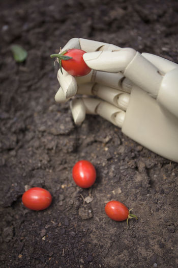 prosthetic hand holding cherry tomato Hand Food Vegetable Tomato Healthy Eating Freshness Red Holding Close-up Finger Outdoors Ripe Cherry Tomato Robotic Arm Prosthetic Futuristic Symbol Innovation Object Technology Vertical Artificial Automation Agriculture Picking