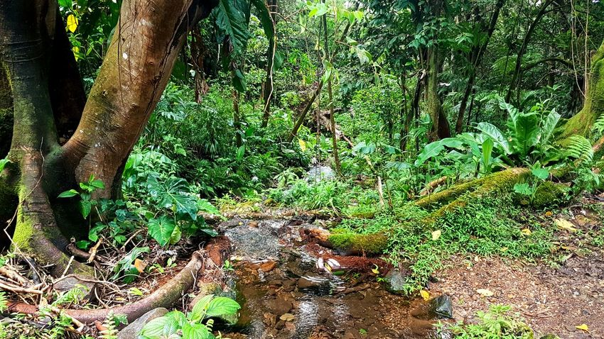 Nature Tree Outdoors Growth Forest Beauty In Nature Soufriere Guadeloupe Gwadeloupe Gwada  River