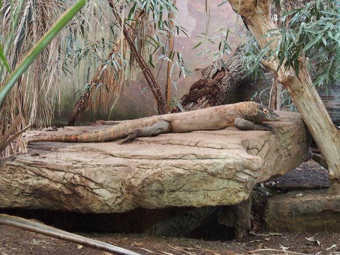 Behind Glass Dangerous Animals Giant Lizard Kimodo Monitor Komodo Dragon Lizard Poisonous Bite Zoo