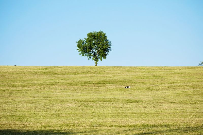 Scenic view of tree on field against clear sky