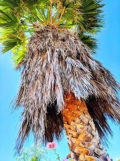 🌴🌴🌴 Losangeles Bluesky Tropical Palmtree Palm 😍😌😊 Palmtree🌴 Summer SoCal Southerncalifornia Hawaiian Hawaiiantropic Beach Tree Palm Leaf