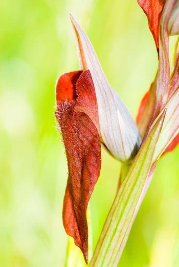 Serapia Flower