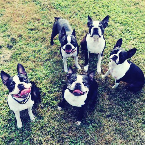 Dogs Doggies Bostonterrier Boston Terrier Puppy Love