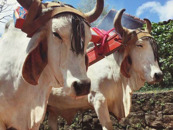 Costa Rica Domestic Animals Day Animal Themes No People Mammal Livestock Outdoors Nature Close-up Ox  Ox Cart Connected By Travel This Is Latin America