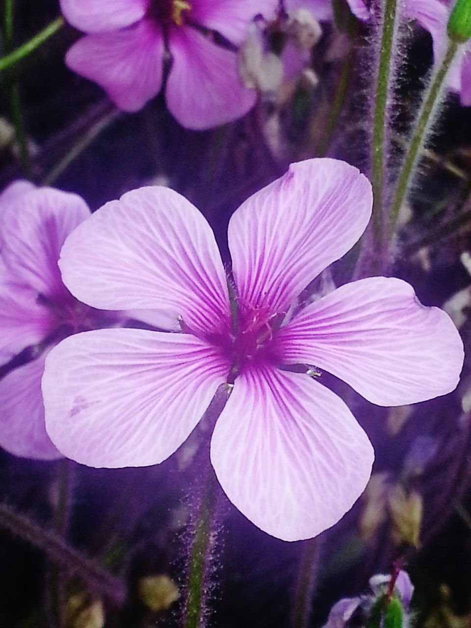 flower, petal, fragility, freshness, growth, flower head, nature, beauty in nature, plant, focus on foreground, purple, outdoors, blooming, no people, day, close-up, pink color, petunia