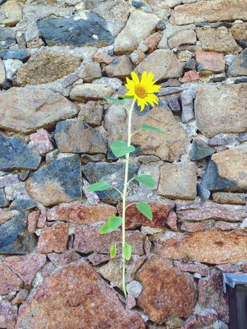 Mauer Sonnenblume