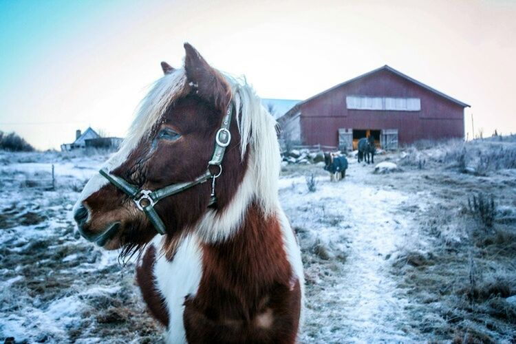 A horse near my home in Vaxholm. Say hi to him a lot 😘Winter Enjoying Nature EyeEm Best Shots Snow Horse Check This Out Animals The Great Outdoors - 2015 EyeEm Awards Nature Nature_collection Horses Horse Photography  Vaxholm, Sweden