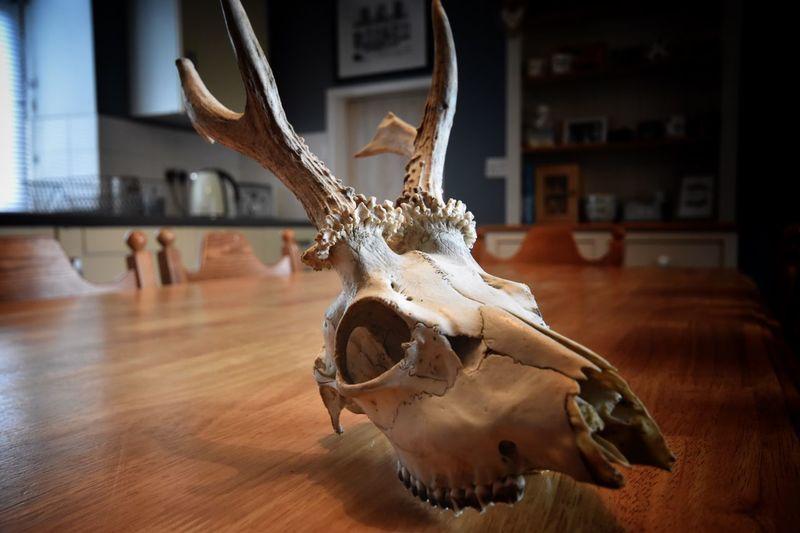 Halloween skull Deer Animal Antler Representation Animal Wildlife No People Indoors